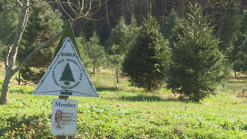 Plenty of Christmas trees are growing at the Wilkerson Christmas Tree Farm, buy they are not...