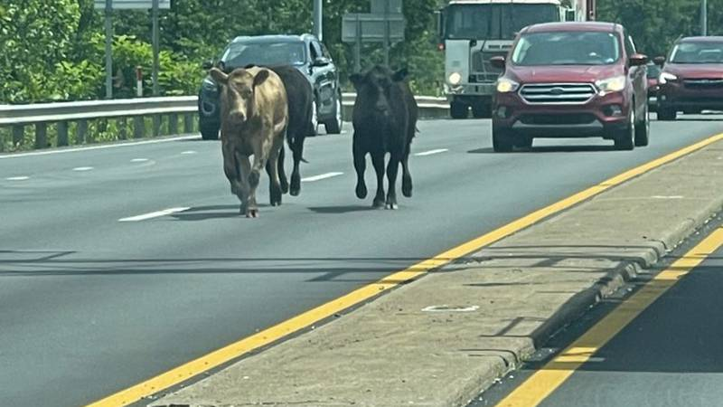 Cows on I-64 in Cabell County