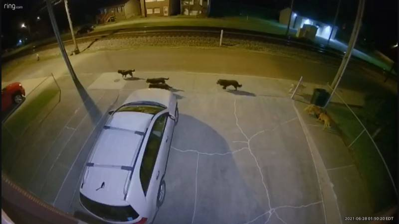 A pack of wild dogs roam the streets of Montgomery at night.