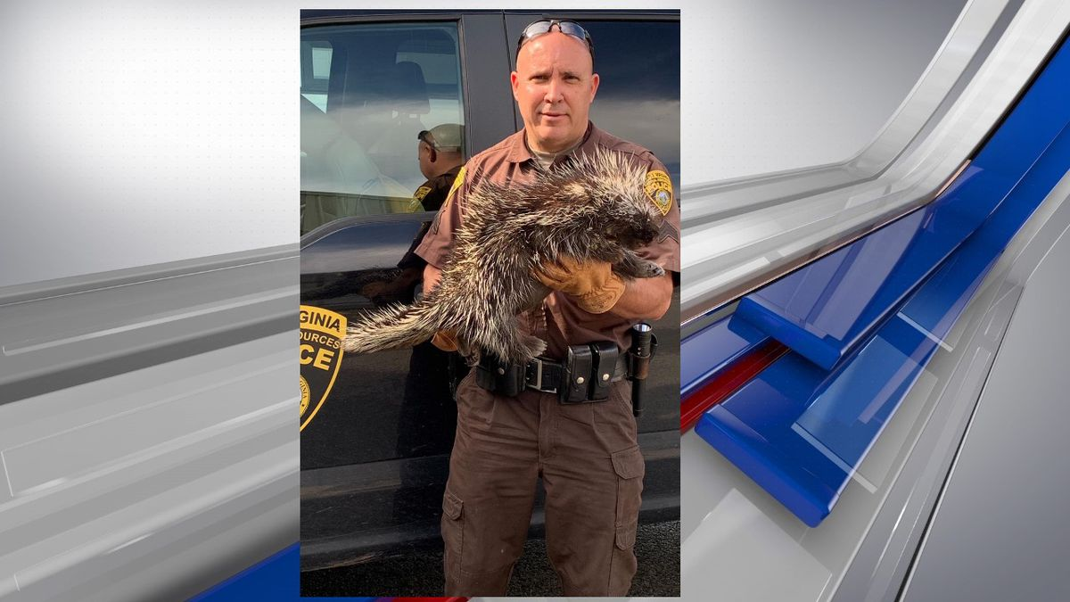 West Virginia Natural Resources officers found a northern porcupine in the Dolly Sods...