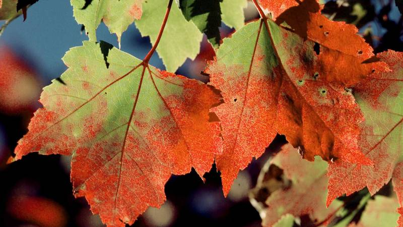 Good leaf fall expected with rains the culprit